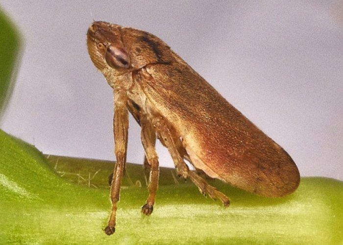 xylella_philaenus-spumarius