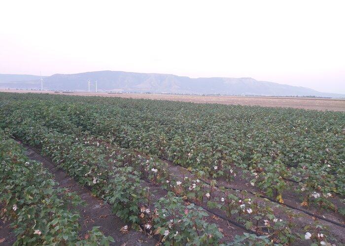 campo di cotone