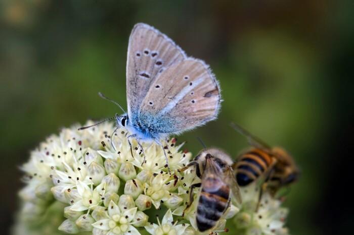 Farfalla e Api