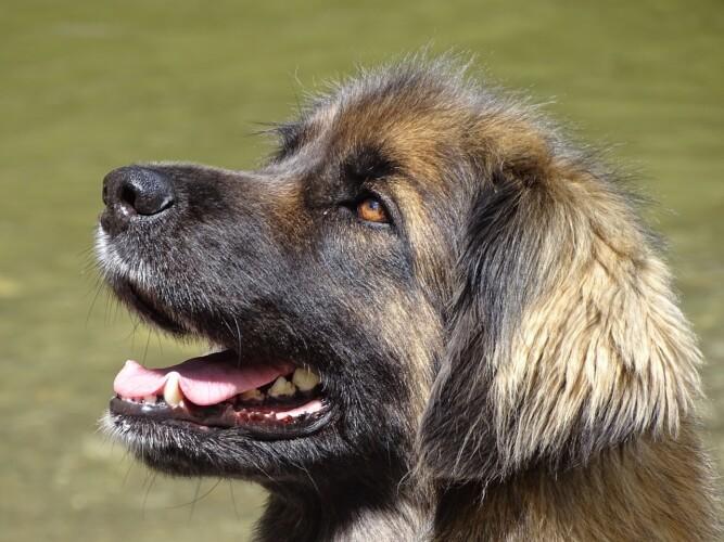 cane leonbergers (foto Maximilliane da Pixabay)