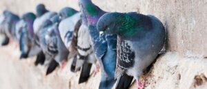 Grumo colombi