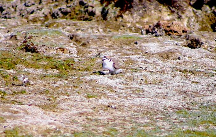 nidi del fratino sulla costa sud di Bari