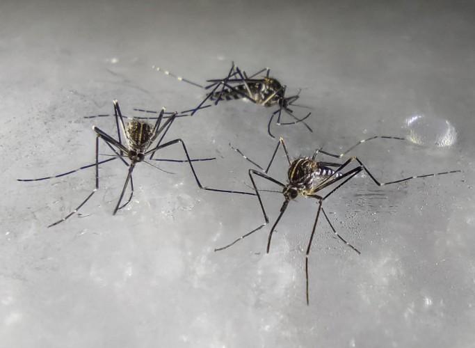 zanzara coreana Aedes koreicus 1