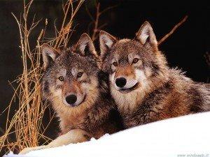<p>coppia di lupi</p>